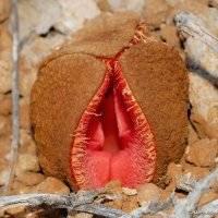 Obupłciowa Hydnora Africana