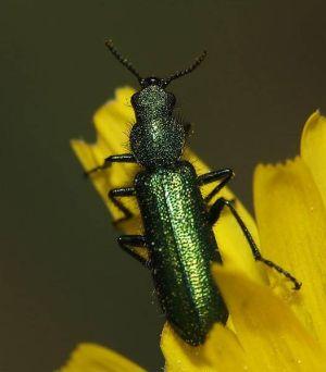 afrodyzjak hiszpańska mucha - chrząszcz i kantarydyna