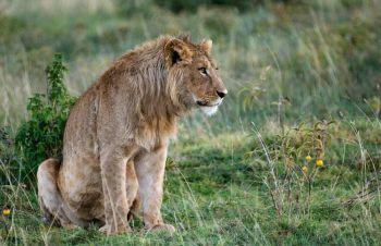 masturbacja mężczyzn - pozycja na lwa