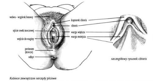 wulwa-łechtaczka-wagina