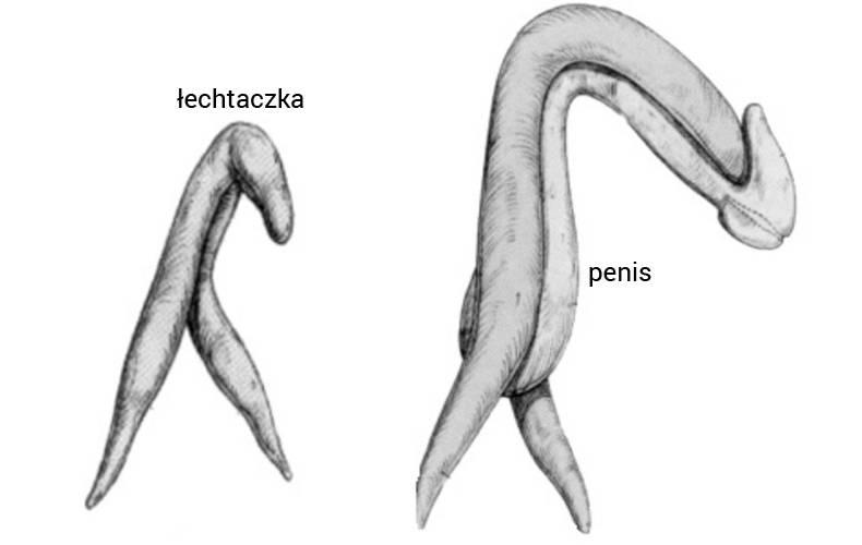 duże panis w cipki oznaki seksu analnego